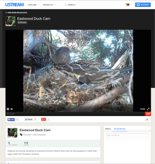 Watch live on UStream as the Eastwood Ducks take care of a clutch of eggs.